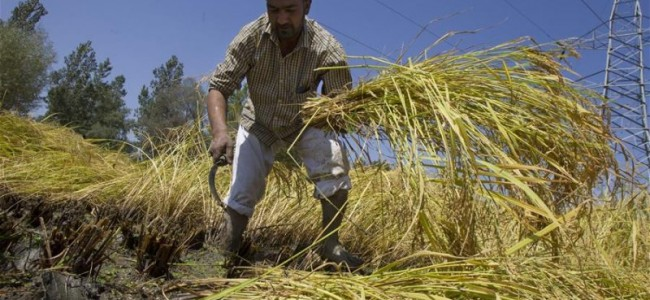 A Kashmiri farmer reaps paddy in a field at the outskirts of Srinagar,