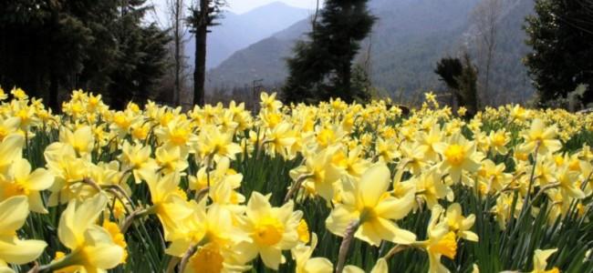 Spring comes in Kashmir: The Spring flowers in full bloom as Dara Harwan outskirts of Srinagar.  (Picture By: Mudasir Khan)