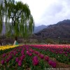 Asias largest Tulip Garden