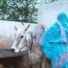 Muslim women threaten to take up arms against cow vigilantes