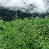 Bhang cultivation over 40 kanals of land destroyed