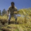 A Kashmiri farmer reaps paddy in a field at the outskirts of Srinagar,