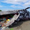 Dead whale in Philippines had 40 kg of plastic in stomach