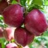 Kashmir: 700,000 growers, a 6 billion apple industry, zero insurance