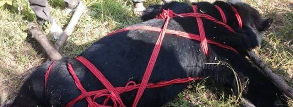 Bear found dead in Batipora Hari Tral