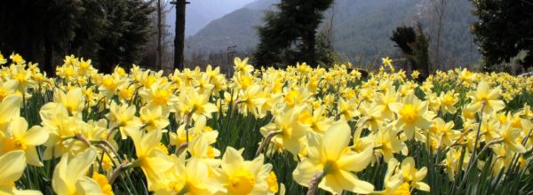 Spring comes in Kashmir: The Spring flowers in full bloom as Dara Harwan outskirts of Srinagar.  (Picture By: Mudasir Khan)
